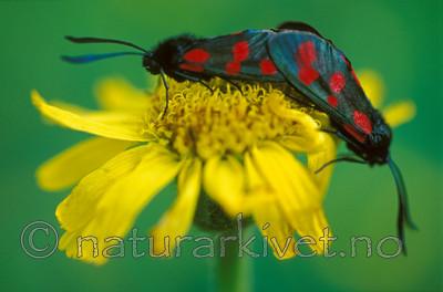 bb611 / Arnica montana / Solblom <br /> Zygaena filipendulae / Seksflekket bloddråpesvermer