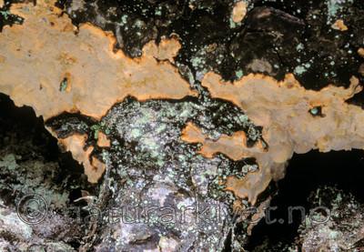 bb617 / Laurilia sulcata / Taigaskinn