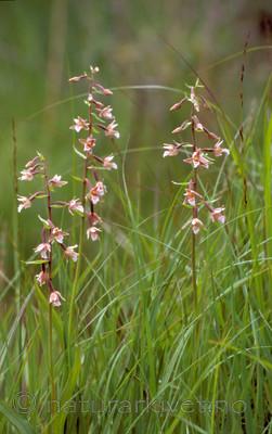 bb629 / Epipactis palustris / Myrflangre