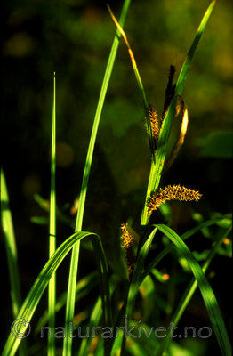 bb630 / Carex riparia / Kjempestarr