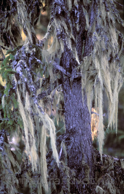 bb665 / Alectoria sarmentosa / Gubbeskjegg <br /> Picea abies / Gran