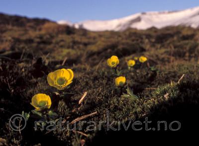 bb679 / Ranunculus sulphureus / Polarsoleie