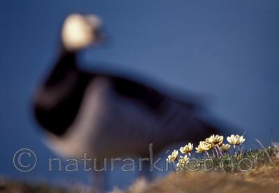 bb745 / Branta leucopsis / Hvitkinngås <br /> Dryas octopetala / Reinrose