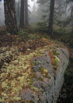 bb794 / Pinus sylvestris / Furu