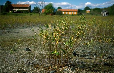bb803 / Vincetoxicum rossicum / Russesvalerot