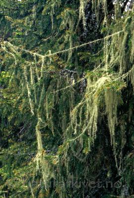huldrestry / Usnea longissima / Huldrestry