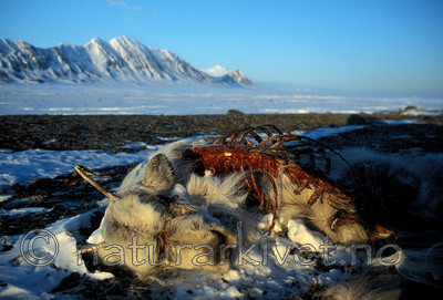svalbard990 / Rangifer tarandus platyrhynchus / Svalbardrein