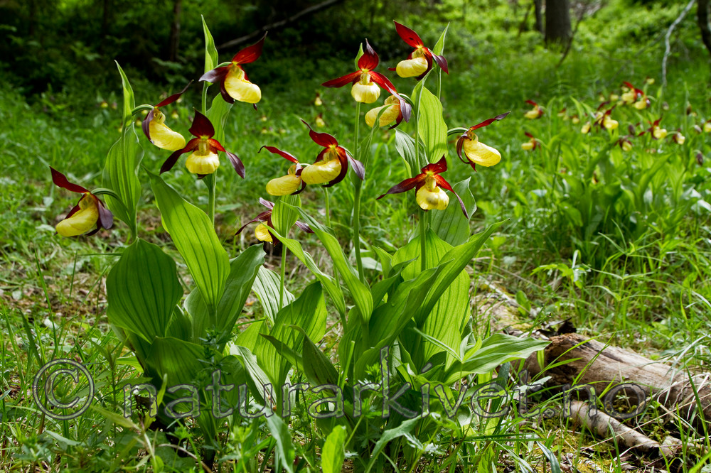 KA_100613_3781 / Cypripedium calceolus / Marisko